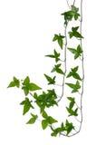 Ivy stem isolated on white background. Royalty Free Stock Photos
