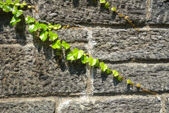 Ivy on Stone Royalty Free Stock Photography