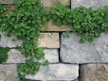 Ivy on stone wall background Stock Photo