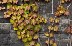 Ivy on a stone wall Stock Image