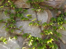 Ivy on the stone wall. Ivy clings to the stones on the wall royalty free stock photos