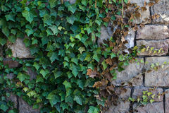Ivy on the stone wall. Royalty Free Stock Photos