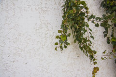 Ivy On A Stucco Wall Royalty Free Stock Images
