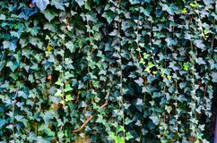 Ivy Texture Blank Background fotos de stock royalty free