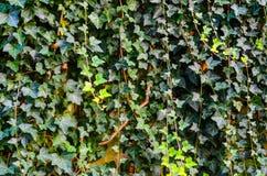 Ivy Texture Blank Background imagem de stock