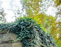 Ivy Texture Blank Background imagens de stock royalty free