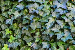 Ivy Texture Blank Background fotografia de stock royalty free