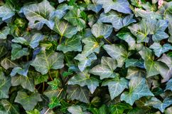 Ivy Texture Blank Background imagem de stock royalty free