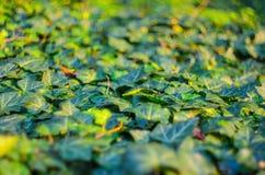 Ivy Texture Blank Background fotos de stock royalty free