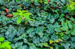 Ivy Texture Blank Background imagens de stock