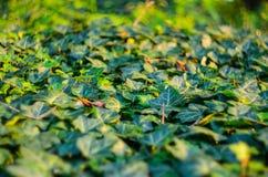 Ivy Texture Blank Background fotografia de stock royalty free