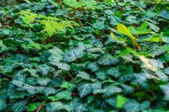 Ivy Texture Blank Background foto de stock