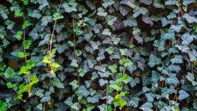 Ivy Texture Blank Background fotografia de stock