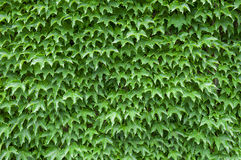 Ivy texture Stock Photos