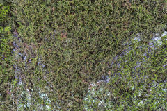 Ivy texture. Royalty Free Stock Photography