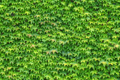 Ivy Stock Photos