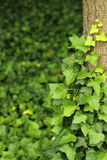 Ivy. The thick ivy climbing trees Stock Photography
