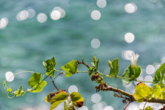 Ivy. Top gourd climbing the tree by the sea Royalty Free Stock Photo