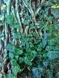 Ivy Tree stockfotografie