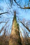 Ivy on tree Stock Image