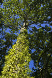 Ivy tree. Low angle view of leafy green ivy on tree with blue sky background royalty free illustration