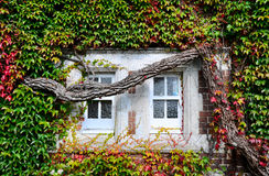 Ivy Tree. Growing across window stock photos
