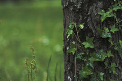 Ivy Tree Foto de Stock Royalty Free