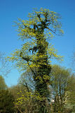 Ivy Tree Royaltyfri Foto