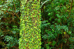 Ivy on tree bark Royalty Free Stock Photo