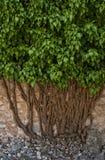 Ivy tree Royalty Free Stock Image