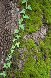 Ivy on a tree. Close-up of an ivy climbing in the beautiful trunk of a tree Royalty Free Stock Images