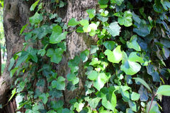 Ivy on a tree Stock Photos