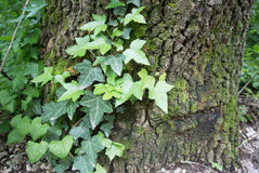 Ivy on a tree Stock Photography
