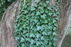 Ivy on tree in garden of Classicist manor house in Dég. Ivy on tree in garden of Classicist manor house in Dég, Hungary stock image