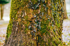 Ivy on a tree in green moss Royalty Free Stock Photos