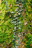 Ivy on a tree in green moss Royalty Free Stock Image