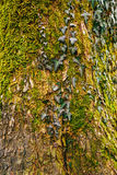 Ivy on a tree in green moss Royalty Free Stock Images