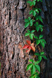 Creeper plant on tree bark. Red and green leaf creeper plant climbing on tree bark Stock Photos