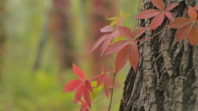 Ivy On A Tree. Red ivy leaves on a tree swaying in the wind stock footage