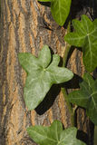 Ivy on the tree trunk Stock Photography