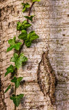 Ivy on a tree trunk. Closeup of green ivy growing on an old tree trunk Stock Photography
