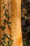 Ivy on a tree trunk Royalty Free Stock Photo