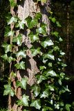 Ivy on the tree trunk Royalty Free Stock Photos