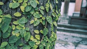 Ivy On Tree verde fresca fotos de stock royalty free
