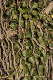 Ivy Royalty Free Stock Image