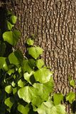 Ivy on the trunk. Ivy climbing on the tree bark Stock Photos