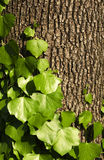 Ivy on the trunk. Ivy climbing on the tree bark Royalty Free Stock Images