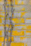 Ivy trunk branch runs up the yellow brick wall. Ivy trunk branch run up the yellow brick wall Stock Images