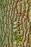 Ivy and Trunk Texture. Red and grean leaves of ivy plant climbing up an oaK tree trunk Royalty Free Stock Photography