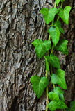 Ivy on trunk Royalty Free Stock Photo